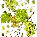 Petit traité de viticulture contemporaine. 3e partie. où l'on ne se prend pas pour des framboisiers