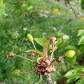 2008 05 27 Le cerisier avec de jeune cerise