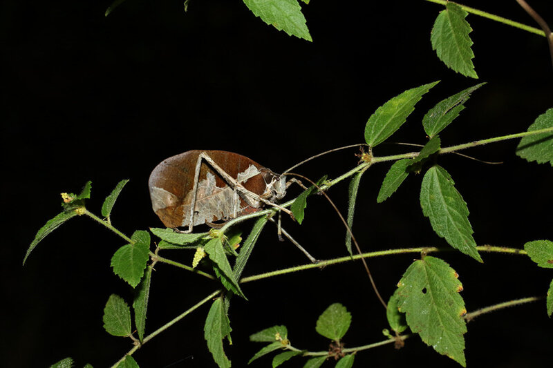 Pterochroza ocellata (uniexcisa) - femelle