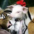 La tigresse et les petits cochons