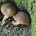 Boletus appendiculatus (5)