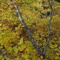 2009 10 31 Depuis le haut d'un Fayard (hêtre), vu sur le branchage et les feuilles d'automnes