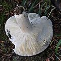 Russula xyanoxantha (2)