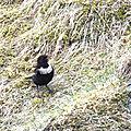 Merle à plastron - Turdus torquatus