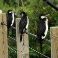 Parc des oiseaux : cormoran d'australie