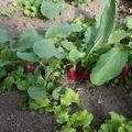 2009 05 03 Les radis et les salades sous serre