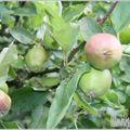 Jus de pommes vertes ou comment extraire la pectine naturelle?