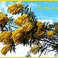 Mimosa, perles d'or