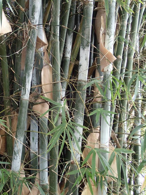 photo 15- Bambusa aff rigida