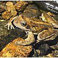 Grenouille rousse : rana temporaria