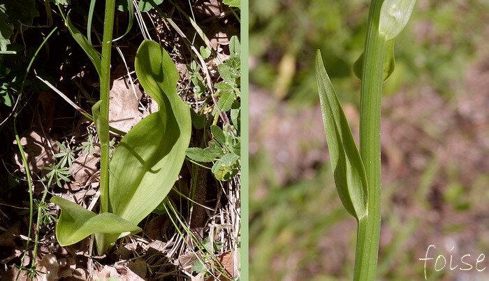 2 feuilles basales, largement ovales f caulinaires étroites sessiles