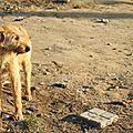 Le sri lanka vont tués trois millions de chiens