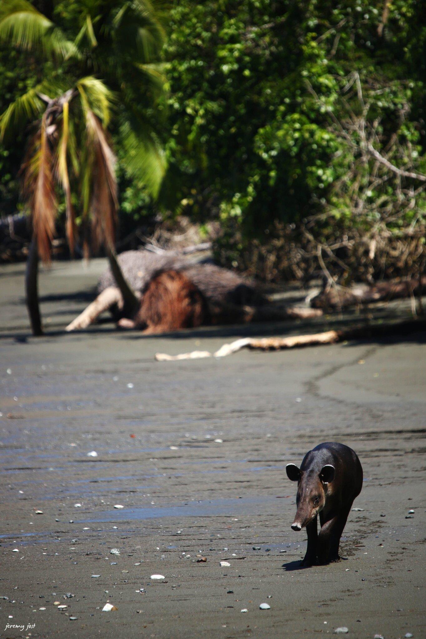 tapir plage sirena