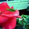 Juvénile femelle de Phaneroptera nana • famille des Tettigoniidae