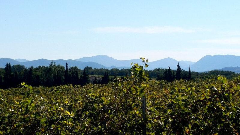 vignes et montagne au fond