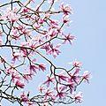 magnolia14-02