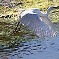 Deux ailes blanches survolent les flots