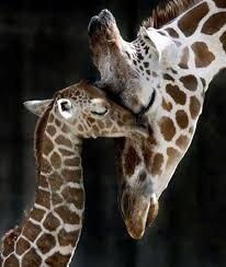 """Résultat de recherche d'images pour """"image de bebe girafe"""""""