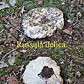 Russula delica