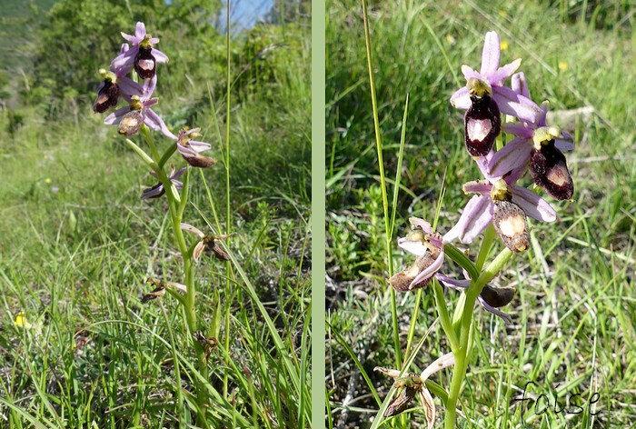 fleurs de 20-25 mm en épi simple relativement espacées