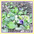 Le printemps et la violette de toulouse
