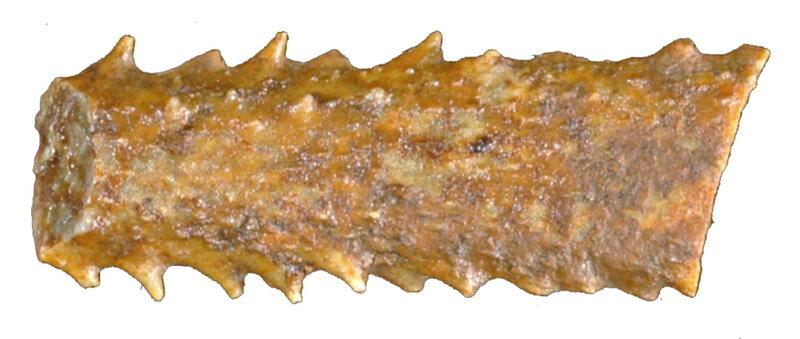 Dickesicidaris copeoides EM40137r