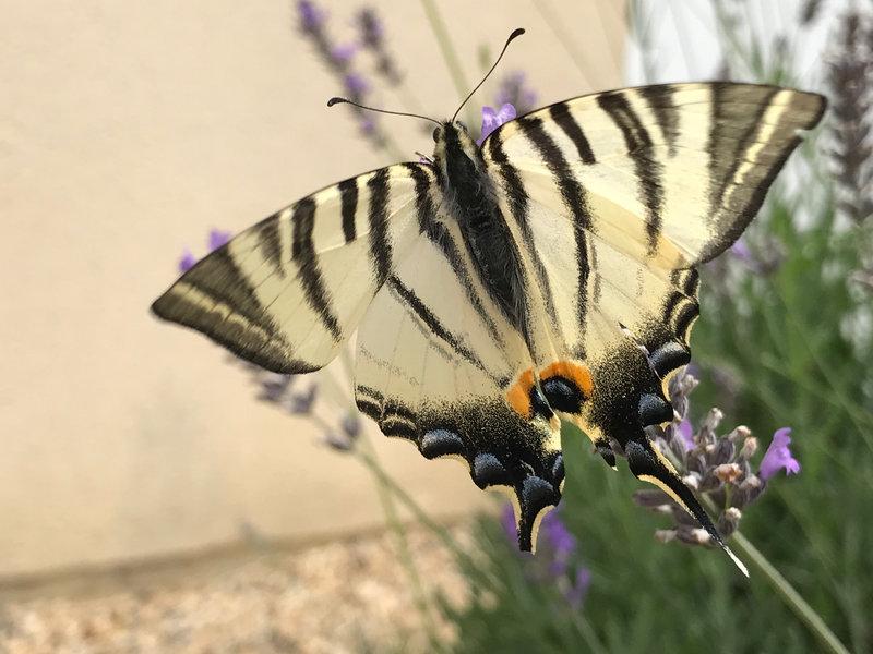 Papillon 2021-08 Flambé(2)