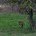 La tendre herbe verte donne le tournis aux chevrettes