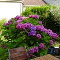 back of the house, hortensias