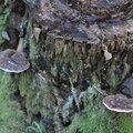 Ganoderma lucidum (1)