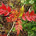 Le mahonia aquifolium