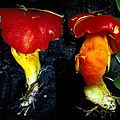 Hygrocybe punicea 1987 1011 (Viroinval)