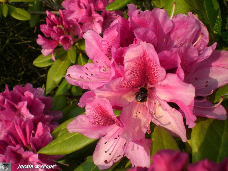 Le rhododendron à l'abeille