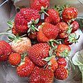fraises du potager www.passionpotager.canalblog.com