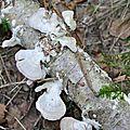 Trichaptum abietinum (3)