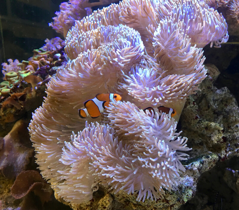 Amphiprion 3