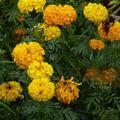 2009 09 01 Rose d'Inde sunset en fleurs