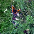 Butterfly (154)