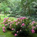 Massif d'hortensias ombragé