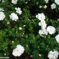Rosier de roses blanches