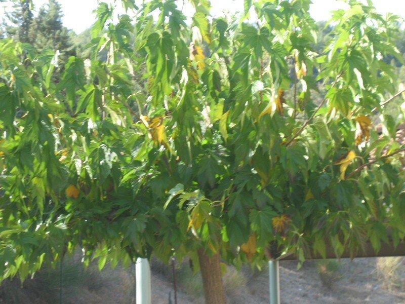 les arbres de la cour 017