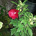 Hibiscus japonais