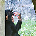 chimpanze beauval5