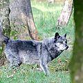 Loup Noir de l'Ouest canadien - Canis lupus occidentalis (2)