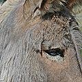Âne Normand • Equus asinus • Famille des équidés