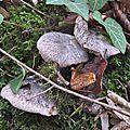 Tricholoma squarrulosum (1)