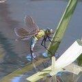 Une libellule pond dans le bassin