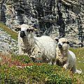 mouton sous le Rateau d' Aussois