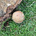 Amanita rubescens (1)