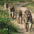 tigre chemin